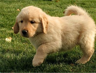 Wonderful Golden Puppies Ready to go (737) 808-0863