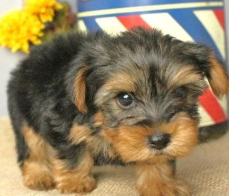 Stunning adorable healthy Yorkie puppies for sale now