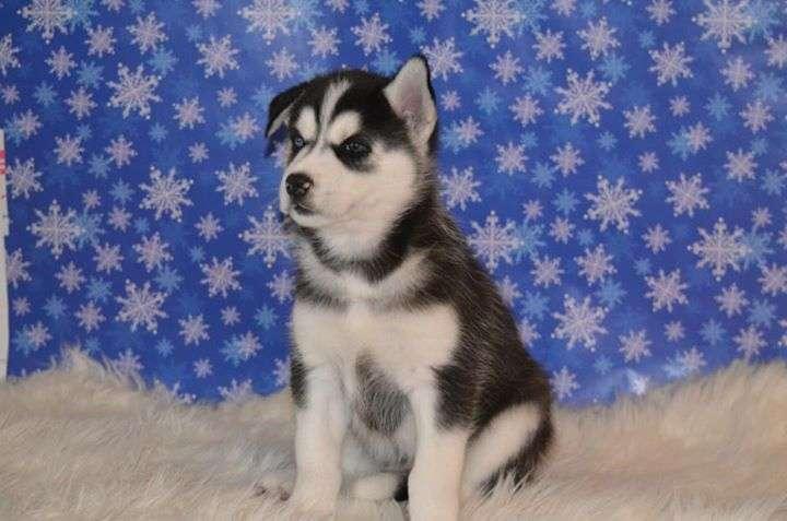 Siberian Husky Puppies Available:(561) 740-6236