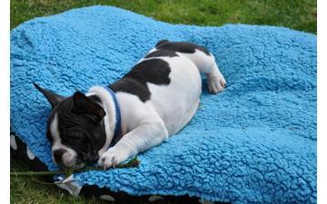 Affectionate M/F French B.u.l.l.d.o.g Puppies!!!260 275  -7135