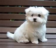 We have FREE beautiful and Cute M.A.L.T.E.S.E Puppie.s