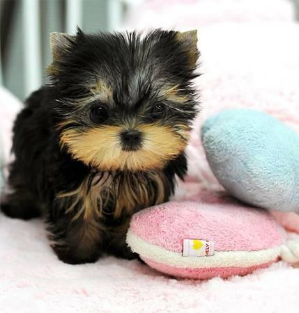 cute yorkie babies ready to go   (504) 475-3404