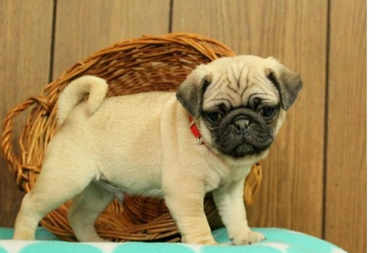 Two Gorgeous P.u.g.  Puppies Available.