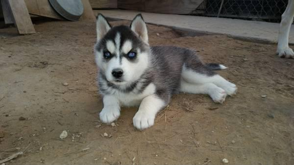 !!!!! Quality siberians huskys Puppies:!!!contact us at(612) -213-5853