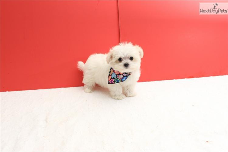 ###  Potty Trained M.a.l.t.e.s.e Pups for Re- homing:....*