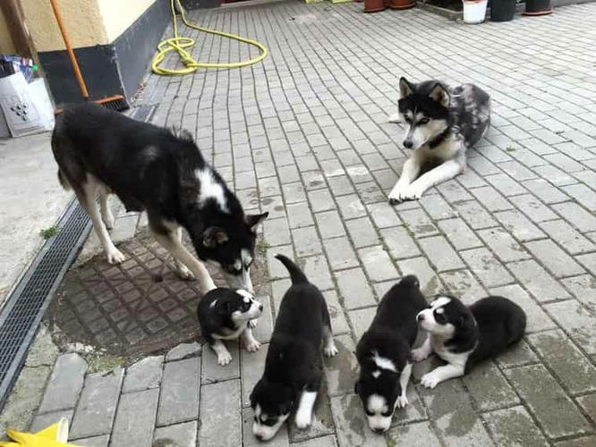 blue eyes siberians huskys Puppies to good homes:.