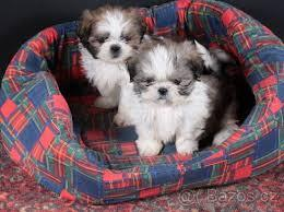 Free shih tzu Pu.ppies >(734) 400-4789) Need Home