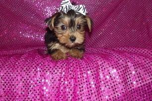 #  QualityY.O.R.K.I.E Puppies:....**