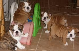 FREE*FREE Healthy Free M/F English B.u.l.l.d.o.g Puppies!!!(301) 463-7620 thanks