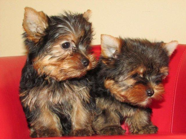 Healthy Teacup Yorkie Puppies Available 9738462566