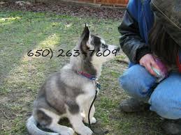 Blue Eyes male and female Siberi.a.n hus.k.y Pu.ppies ) Need Hom (650) 263-7609
