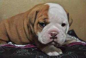 FREE*FREE Healthy Free M/F English B.u.l.l.d.o.g Puppies!!!(703) 672-7726 thanks for your time