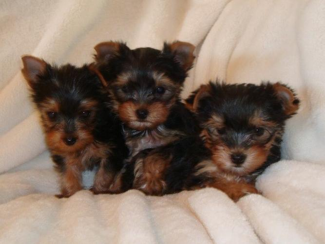 ???Pretty Female and Male Tea Cup Y.O.R.K.I.E puppies??? (573) 213-6001