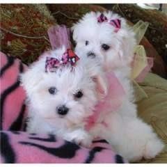 Akc Reg M.a.L.T.e.S.e puppies!!!(720) 295-2491...