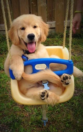 Top  Quality Golde.n Retrieve.r Pups . (434) 248-0822