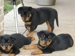 *Top Quality Female and Male R.o.t.t.w.e.i.l.e.r puppies (301) 966-2862**