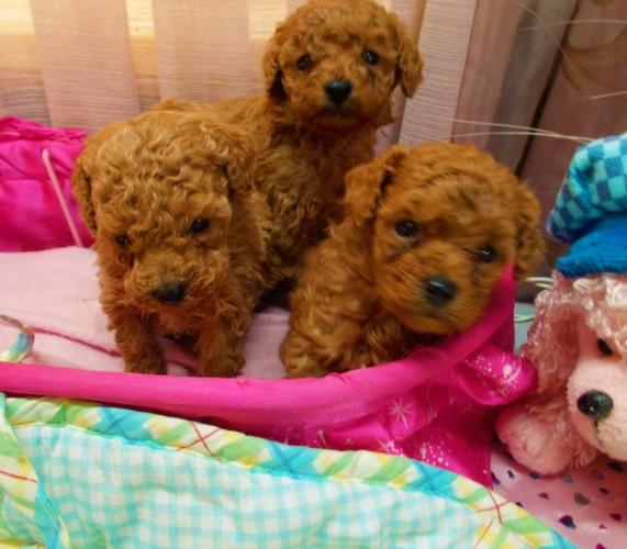 Adorable Toy Poodles for sale