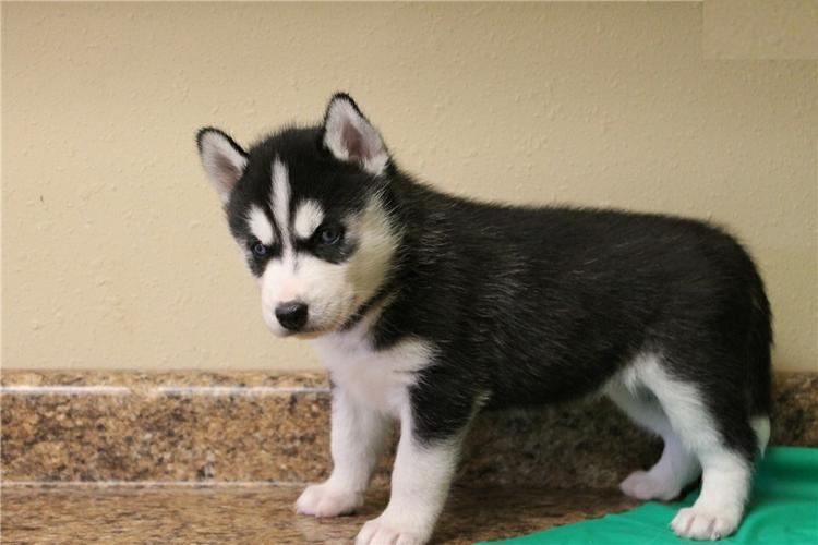 Quality siberians huskys Puppies:***Tex(612) 367-7259