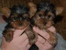 Gorgeous Tea-cup Yorkies Pu.ppies ) Need Hom  (469) 205-3902