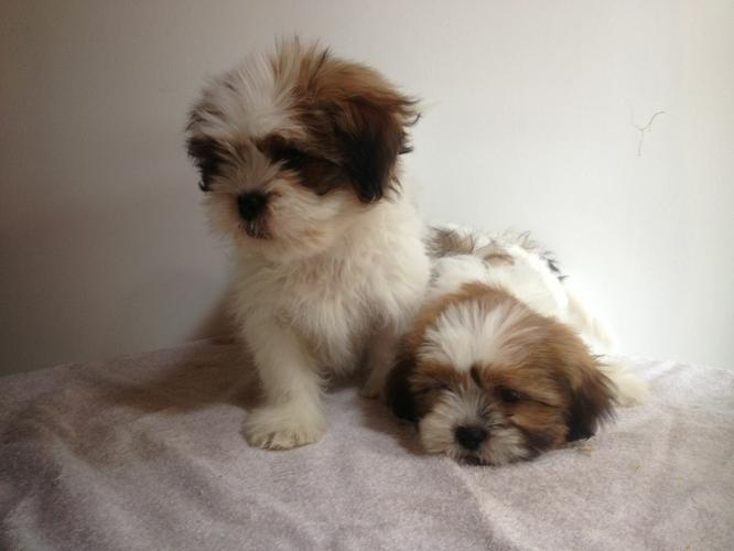 Two FREE CUTE Pedigree s.h.i.h t.z.u P.u.p.p.i.e.s for Loving Homes!!!(575) 291-3554