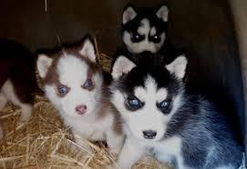 CUTE S.I.B.E.R.I.A.N H.U.S.K.Y Puppies: contact us at (443) 488-5750