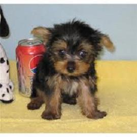 FREE Cute Y.O.R.K.I.E Puppie.s 202 844 7911