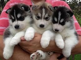 FREE Quality siberians huskys Puppies:contact us at (949) 342-8384