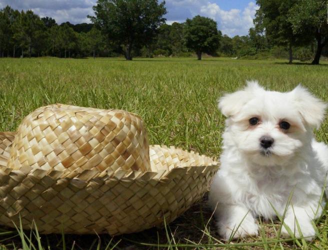 Akc Reg  M.a.L.T.e.S.e  puppies!!!(202) 792-9577...