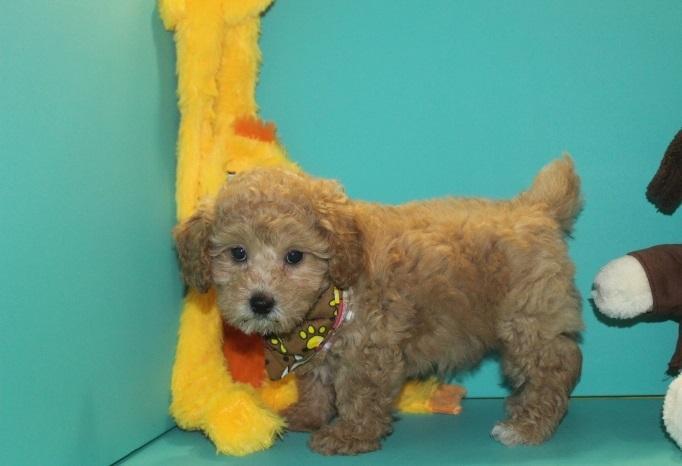 FREE Quality S.H.I.H P.O.O Puppies:contact us at (614) 398-0887