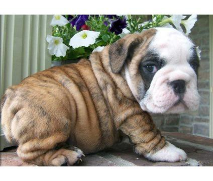 # Gorgeous English Bulldogs Puppies:contact us at 409-420-7820