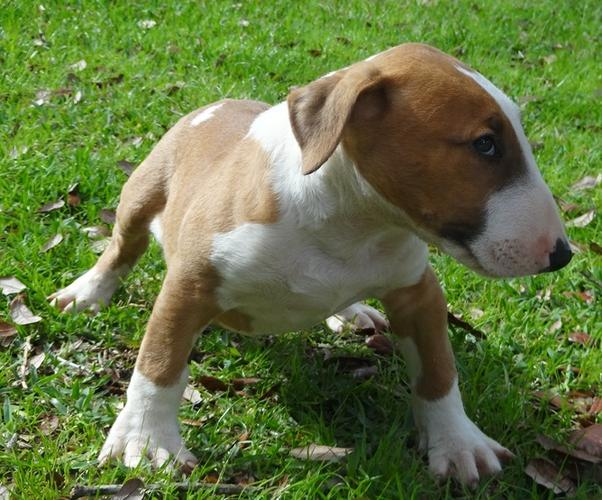 FREE Quality BULL TERRIER Puppies:contact us at (614) 398-0887