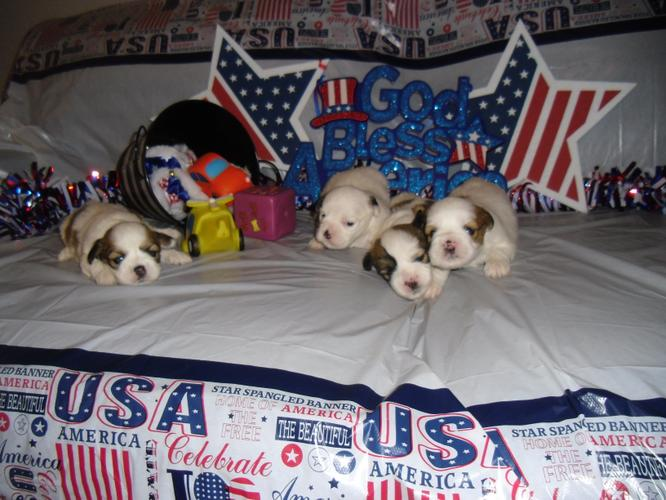 AKC LHASA APSO ADOURBLE  PUPPIES Ready 4th july