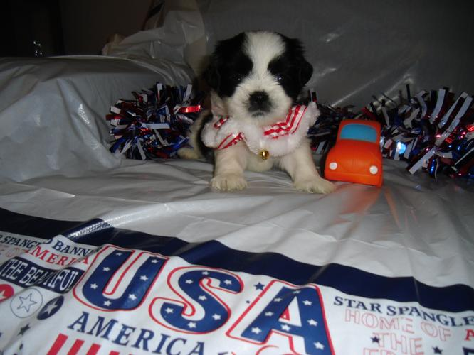 ACA LHASA APSO PUPPY MALE READY FATHERS DAY