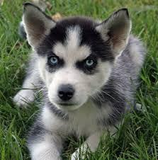Gorgeous Siberiaan Huskee puppies looking for good homes//(470) 296-5735