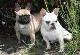 Lovely F.R.E.N.C.H B.U.L.L.D.O.G puppies!!!(205) 810-0379