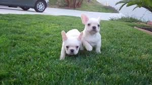 Lovely F.R.E.N.C.H B.U.L.L.D.O.G puppies!!!(205) 810-0379