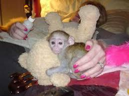 Freshly Cute Male And Female Baby capunchin Monkeys For Adoption(909) 689-8567
