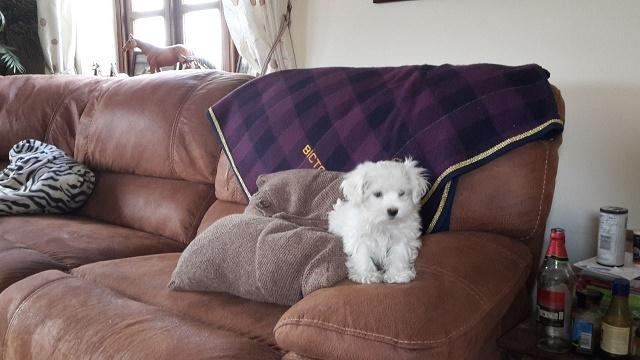 Maltese Puppies for re-homing.