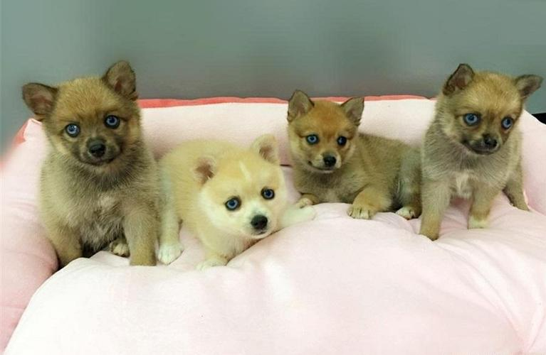FREE FREE CUTE P.O.M.S.K.Y. Puppies:???(478) 569-5957