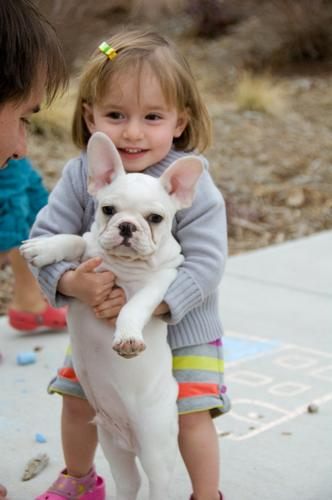 AKC quality French Bulldog Puppy for  adoption!!!
