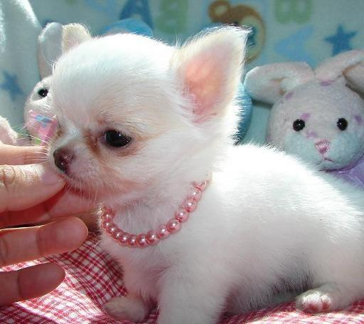 Tea cup male and female C.h.i.h.u.a.h.u.a PUPPIES for a good home.