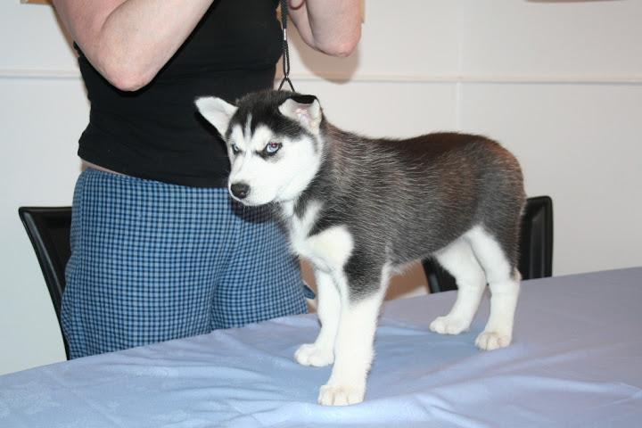 Quality siberians huskys Puppies:(719) 631-8270