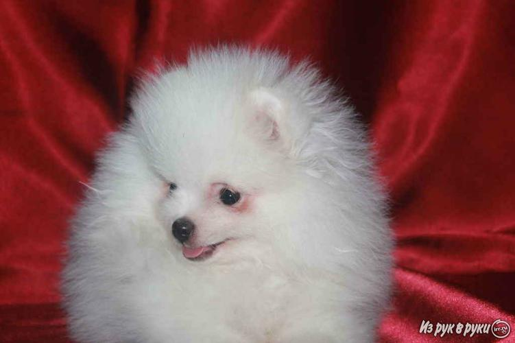 ???Beautiful and Cute P.o.m.e.r.a.n.i.a.n.???S. m.s.(323)920-8426???