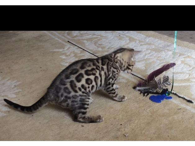 !!??@# 3 Purebred and Pedigree, 12 weeks old Bengal kittens 240 245 6922  !!??@#
