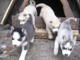 Lovely AKC Registered Puppies