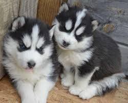 ?Hu.sk.y Pupp.y For Fee, Ready Now 14 Weeks Old (310) 881-5302