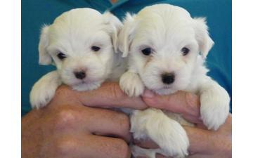 M.a.l.t.e.s.e Pups for Re- homing:....  216--465--5723