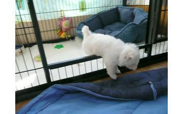 ###  Potty Trained M.a.l.t.e.s.e Pups for Re- homing:....***