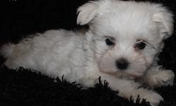 Top Quality Malteses Puppies:....contact us at(509) 497-8560
