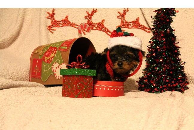 Quality Teacup Yorkies Puppies:.... (430) 702-2208